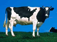 Two cows in grass - the number of certified organic farm operations in the U.S.