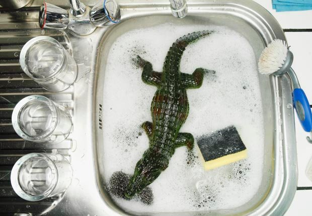Plastic alligator in sink with sponge, Discard old kitchen sponges