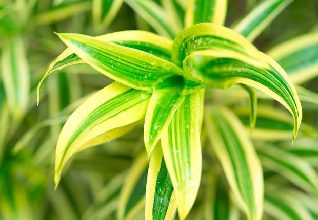 Dracaena, 10 plantas que ayudan a limpiar el aire en su hogar