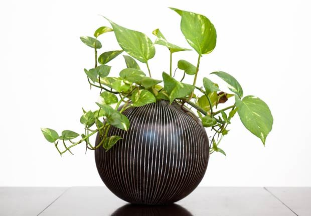 Pothos de oro, 10 plantas que ayudan a limpiar el aire en su hogara