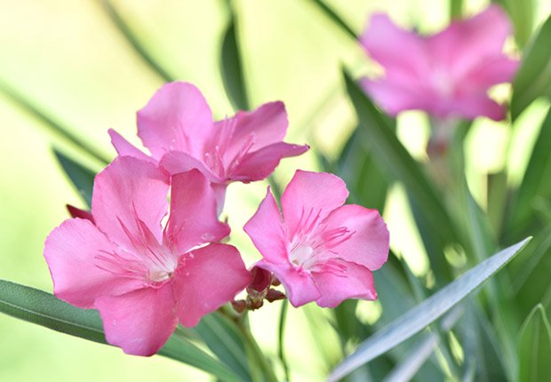 Drought-Tolerant Plants for Your Landscape: Adelfa