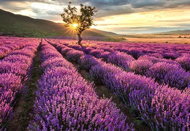Drought-Tolerant Plants for Your Landscape:  Lavender