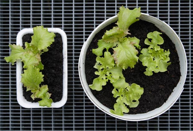 Lechugas plantadas, 10 Hierbas y verduras más fáciles de plantar en su jardín