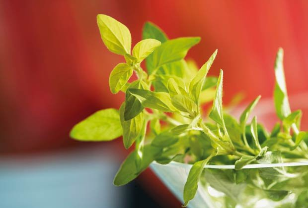 Orégano, 10 Hierbas y verduras más fáciles de plantar en su jardín