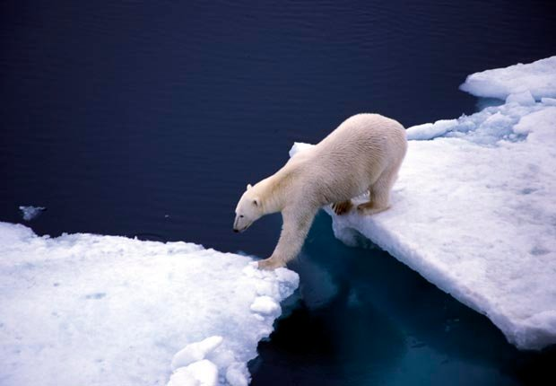 Polar bear crossing sea on two glaciers, 10 effects of climate change
