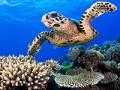 Tortuga nada en la gran barrera de coral en Australia, 10 maravillas naturales para ver ahora, antes que desaparezcan