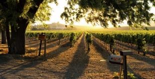 Vineyard in Sonoma Valley