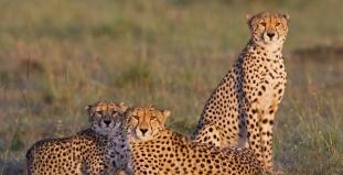 Cheetahs at Serengeti Nat. Park